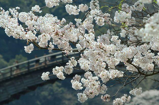 錦帯橋の桜は満開#錦帯橋 #桜 #満開 #満開の桜 #花見 #岩国