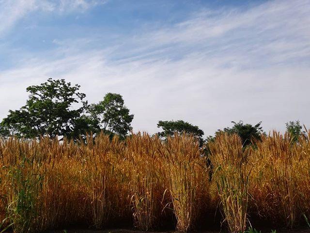 うどんになるのかな?#麦畑 #埼玉 #所沢 #畑 #空と麦 #空と畑