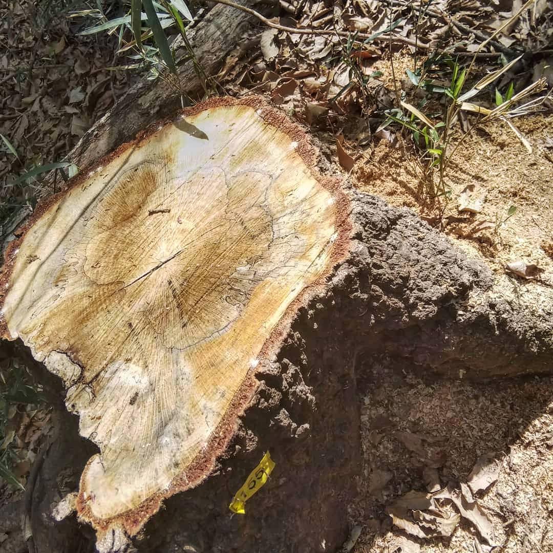 お気に入りのくぬぎが伐採されていました #くぬぎ #クワガタ捕り